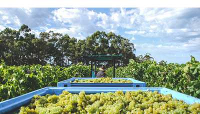 Voyager Estate's First Organic Vintage